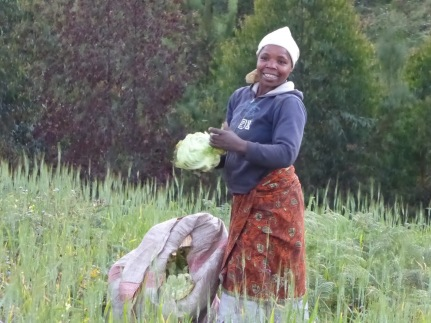 local-woman-harvesting-cabbages-in-madisi